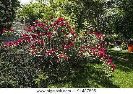 Rose tree, most beautiful roses, rose flowers, colorful colored roses, love symbol roses,