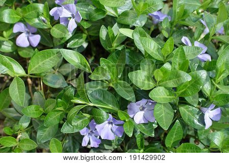 Flowering Vinca Minor Forming Groundcover In The Garden