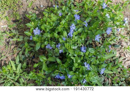 Lush Green Foliage And Pale Violet Flowers Of Periwinkle