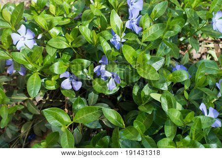 Pale Purple Flowers Of Vinca Minor In April