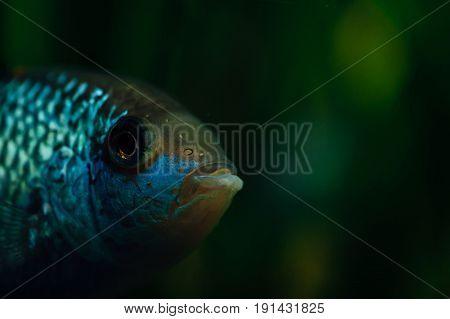 Nannacara. Blue aquarium fish on a background of algae.