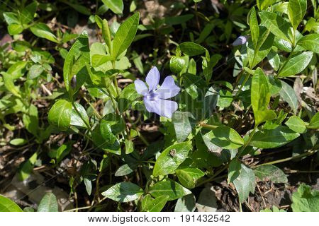 Single Pale Purple Flower Of Vinca Minor