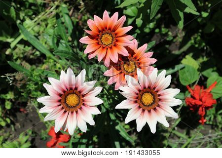 Pink with red and orange stripes gazania flowers on a sunny day.