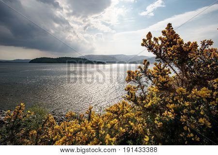 Yellow gorse in front of lake and mountains