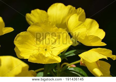 Blooming yellow evening primrose flowers in a garden.