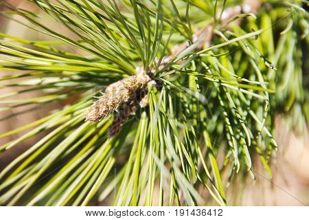 A branch of a tree A young, bright green needle of a cedar tree close-up on a blurred background