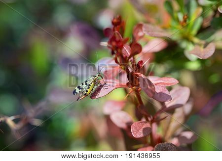 Mecoptera is sitting on the leaf barberry