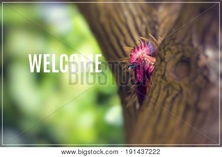 Word Welcome. Ruster chicken portrait in Hawaii