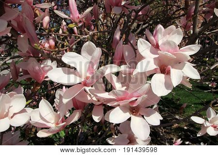 Many flowers of the blooming magnolia tree