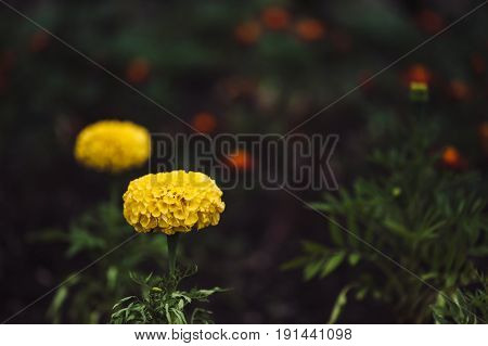 Yellow marigold flower on a background of dark grass. Atmospheric.