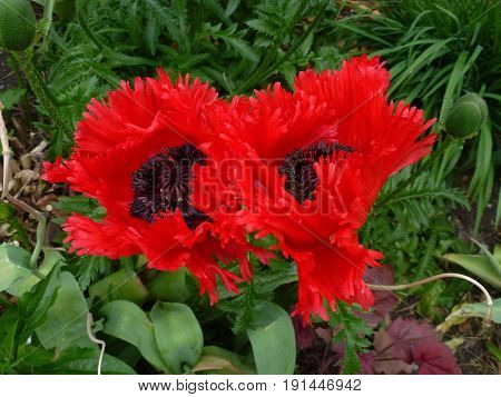 Two red poppies on the flower bed