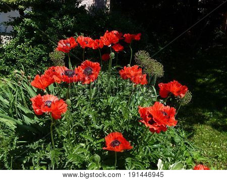 Blooming red poppies on the flower bed