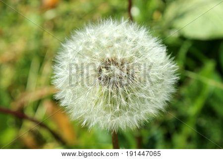 The macro photo of beautiful blowball head