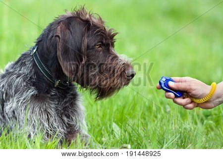 hunting dog and woman hand with clicker