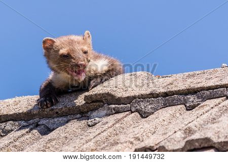 Adult Ugly And Injured Marten Goes Over The Roof