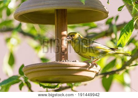 Nice Single Male European Greenfinch On Feeder