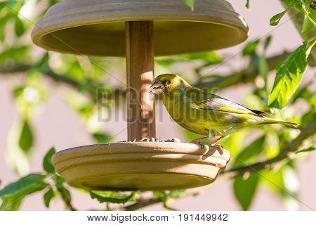 Nice Single Male European Greenfinch On Feeder