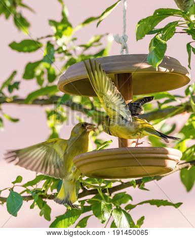 Two Male European Greenfinchs On Feeder