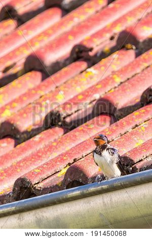 The Swallow Perched On Metal Gutter