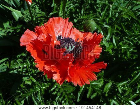 Single red poppy on the flower bed