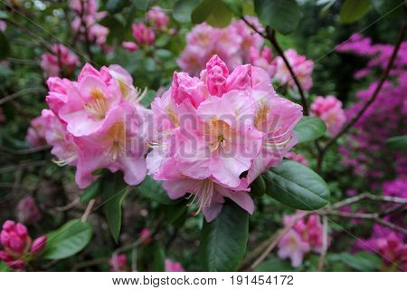 Many flowers of blooming pink rhododendron bush
