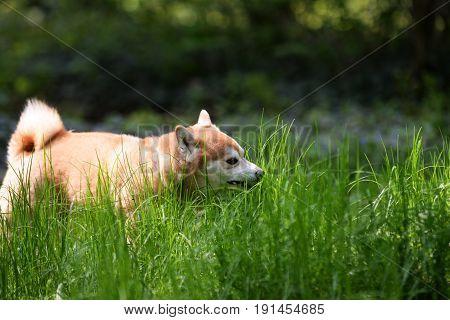 close up on Japanease dog shiba inu eating grass