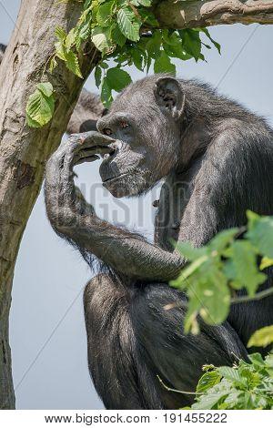 Chimpanzee Portrait At Tree At Guard