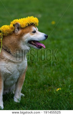 Japanease Dog Shiba Inu Running On The Grass With Flower Wreath