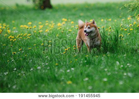 Japanease dog shiba inu on the grass