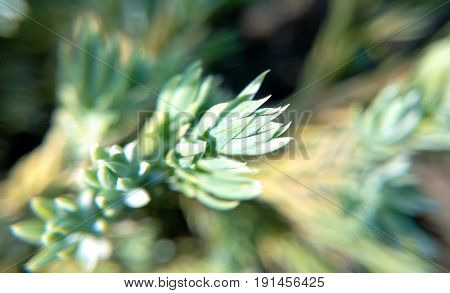 Needle juniper in a sunny summer day a blurred background close-up