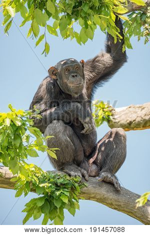 Chimpanzee Portrait Sitting At Tree