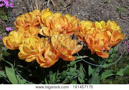 Many orange tulips on the flower bed