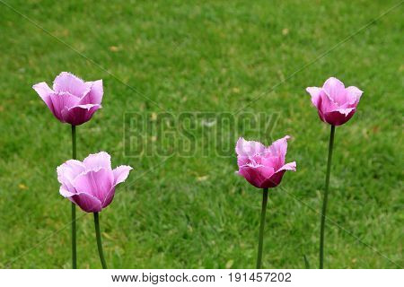 Four pink tulips on the flower bed