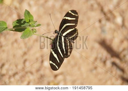 Zebra Longwing (Heliconius Charithonia) butterfly on a plant