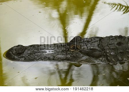American alligator Latin name alligator mississippiensis in the Everglades