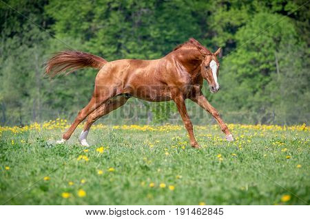 Horses galloping in the field in summer