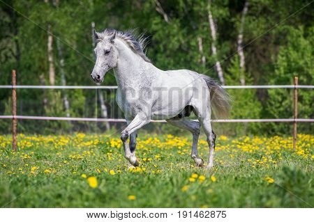 White horse running on pasture in summer