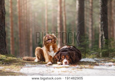 Australian Shepherd And Nova Scotia Duck Tolling Retriever