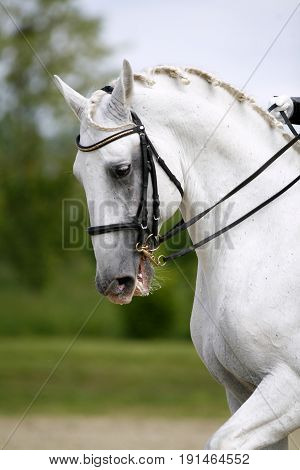 Portrait of a closeup of a dressage sport horse during the race. Vertical shot af a beautiful lipizzaner dressage horse