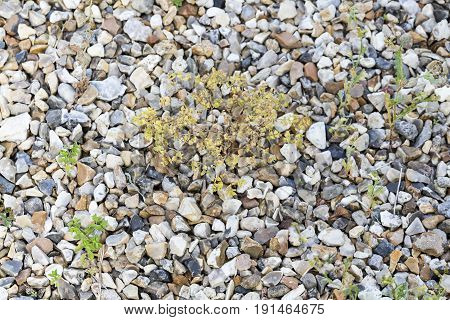 Weeds parasites pests dandelion grass in gravel before herbicide weedkiller weed whacker