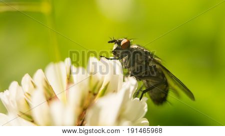 Flies on dandelion in macro photography. hite clover flower collecting pollen A four leaves clover.