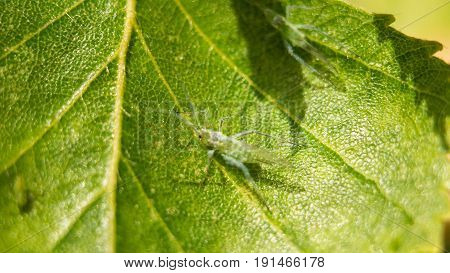 Extreme magnification - Green aphids on a plant.
