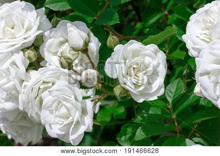 Brunch with white rose flower and green leaf. Rose photo. Beautiful summer flowers.