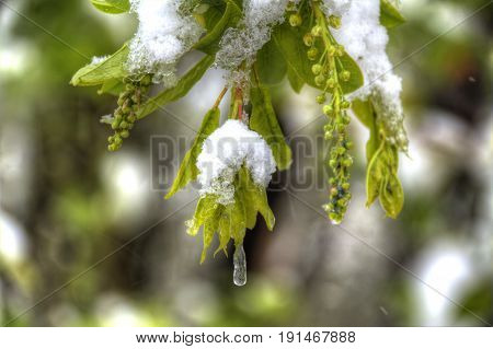 Detail of green leaves covered in snow and ice
