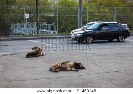Two stray dogs lying in the street. One dog is sleeping. By dogs pass two cars.