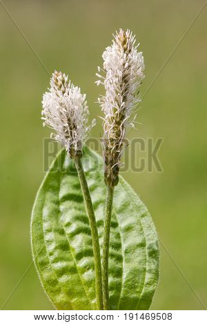 Hoary plantain (Plantago media) flower stem. Plant in the family Plantaginaceae with white inflorescence born on downy stem