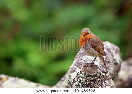 Cute Robin Red Breast bird sitting on a branch with green blurred shrubs in the background.