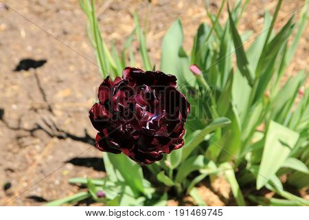 Dark red tulip on the flower bed
