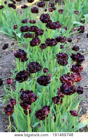 Many dark red tulips on the flower bed