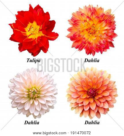 A set of four flowers: parrot tulip red-yellow dahlia white dahlia orange dahlia. Flowers on a white background with signed names.